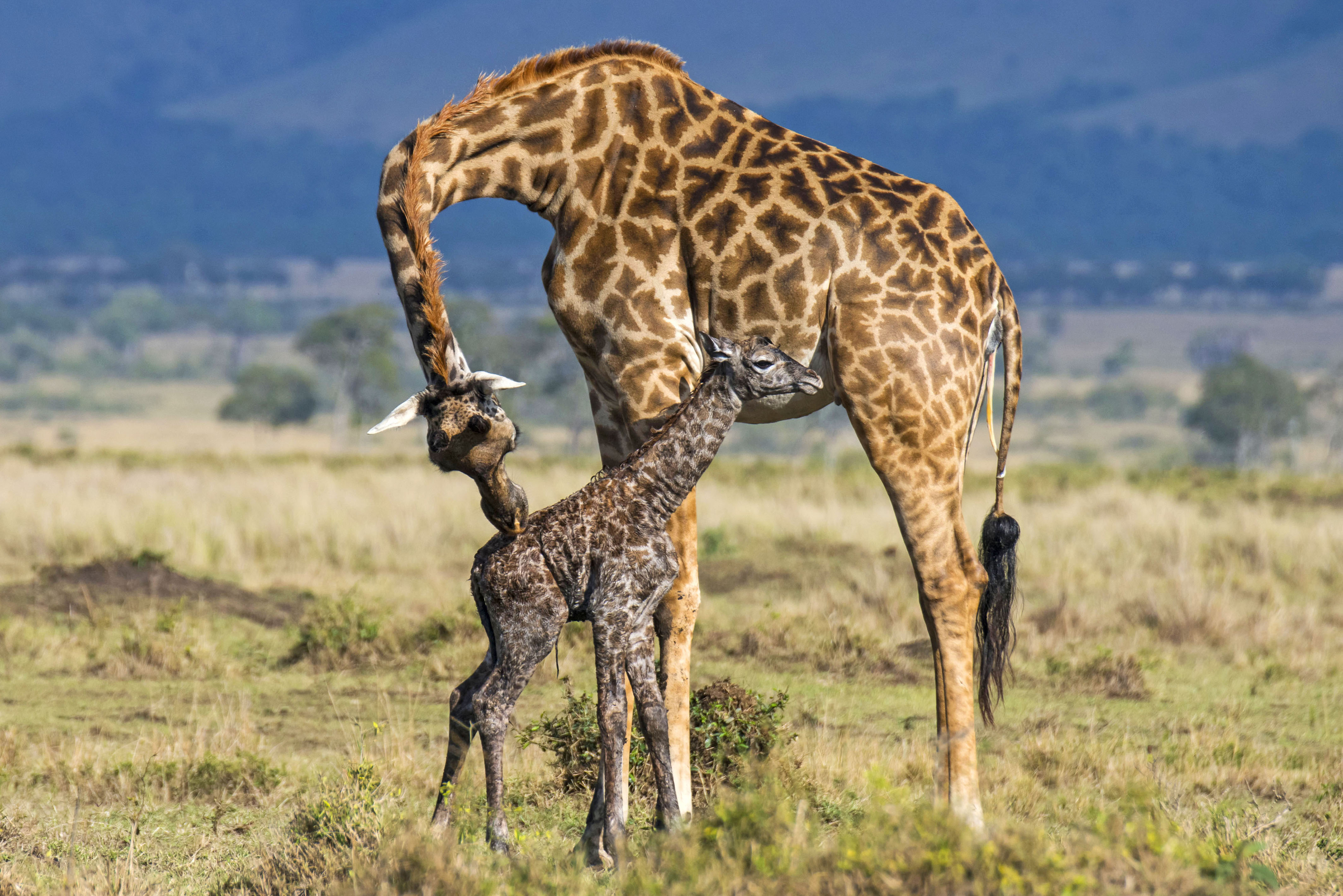Heartwarming Pictures Show Giraffe Giving Birth To Baby