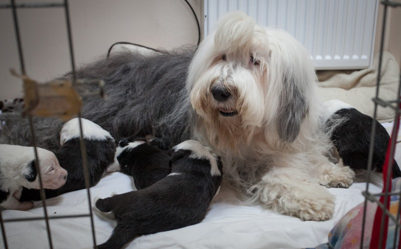 Cubbing together! Old English sheepdog gives puppy love to