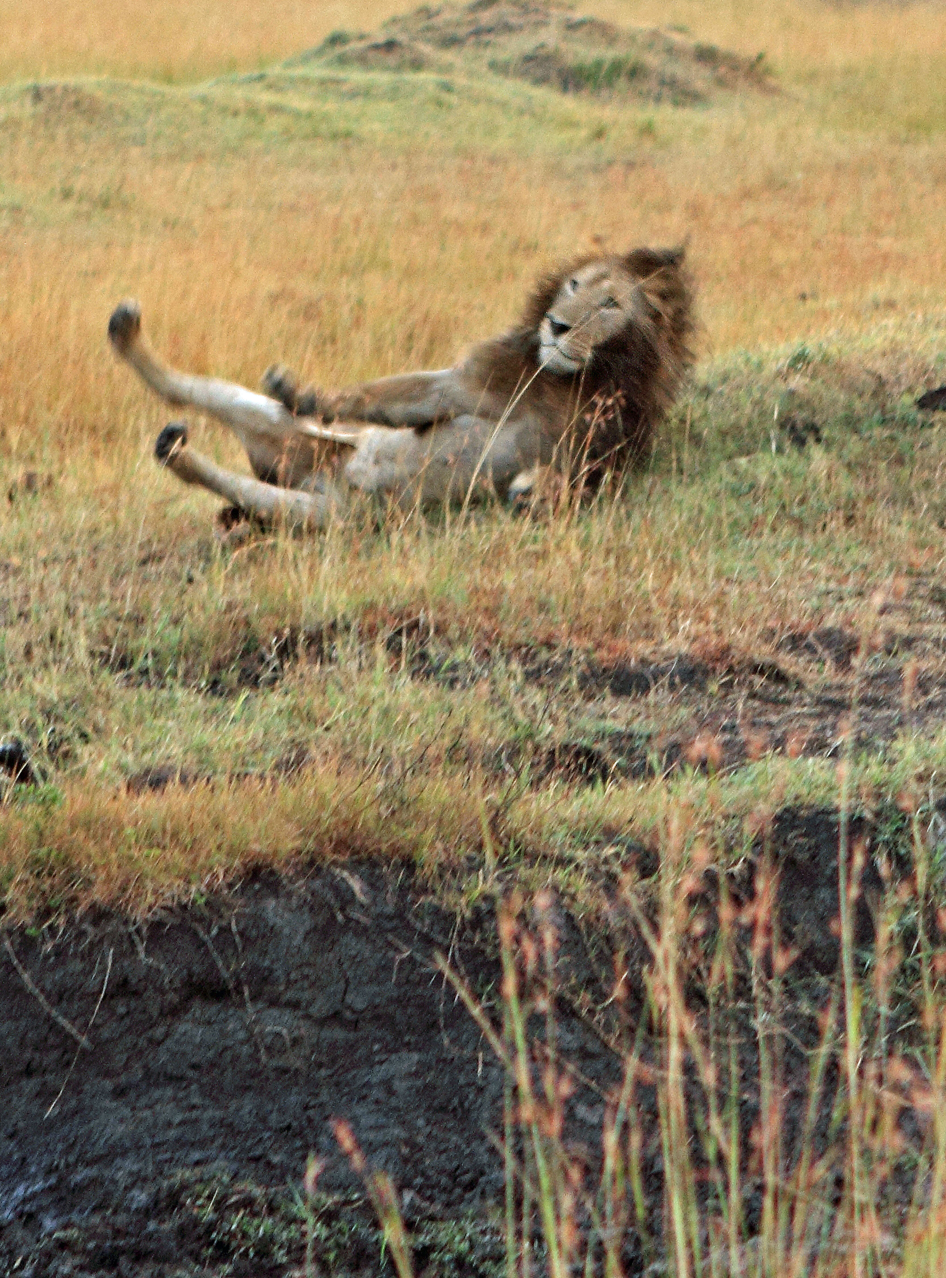 king of the tumble  hilarious moment lion gets his foot