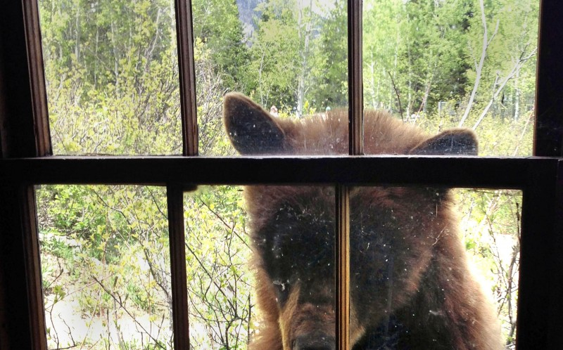 Bear Breaks Into Cabin