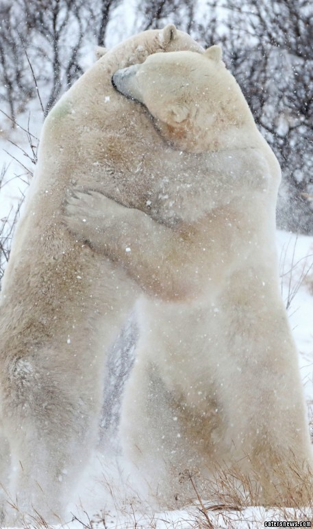 One bear looks as though he might be going in to attack the other, before they were spotted sharing a warm embrace