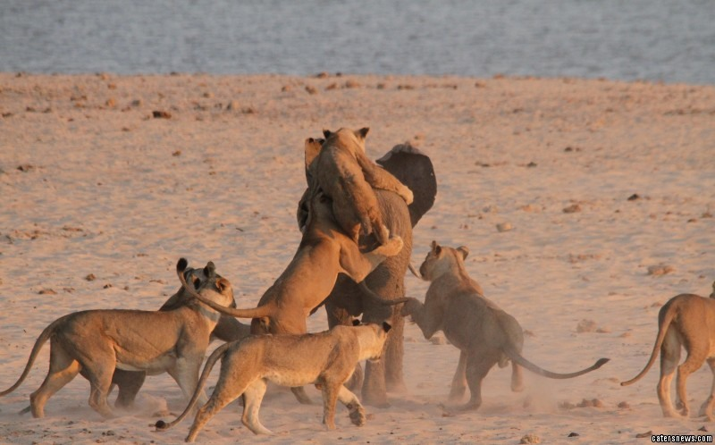 the lions viciously set about the youngster who was separated from its herd