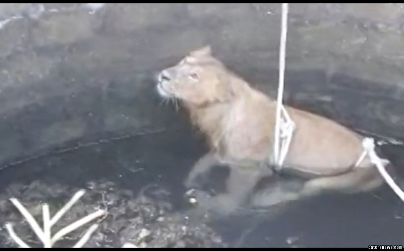 The distressed eight-year-old lion can be heard roaring in the video
