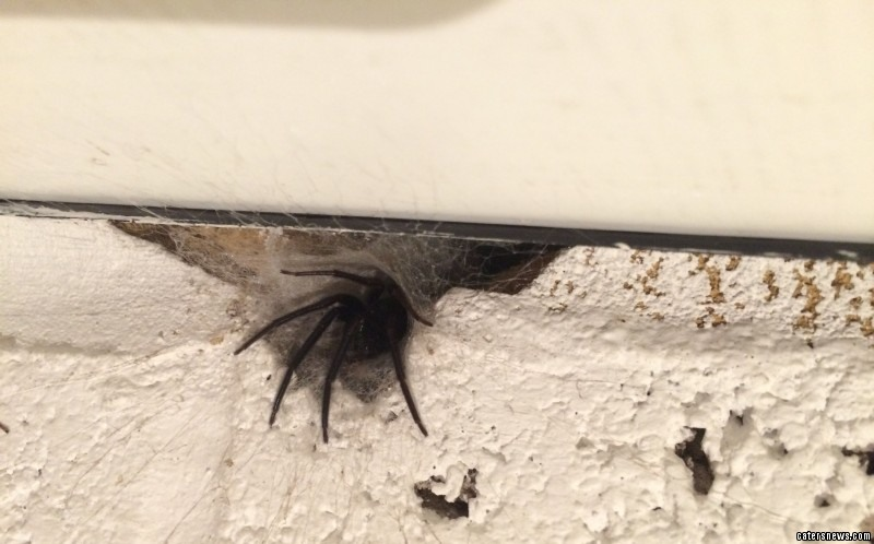 Mum Michelle Midwinter captured the terrifying moment a green-fanged cannibal spider leapt from its nest
