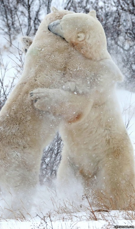 """Robert Postma, who captured the heart-warming moment, said: """"These particular bears were play fighting on and off for about five hours."""""""