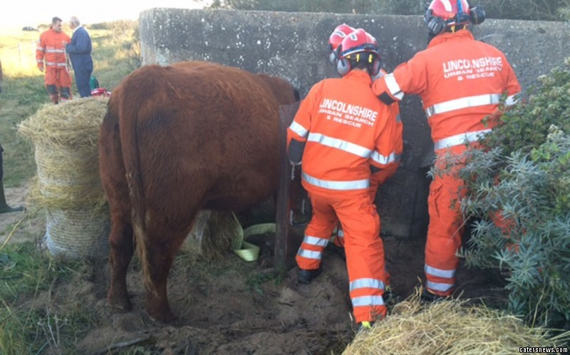 Firefighters from Lincolnshire Fire and Rescue were called to the scene to remove the pregnant cow