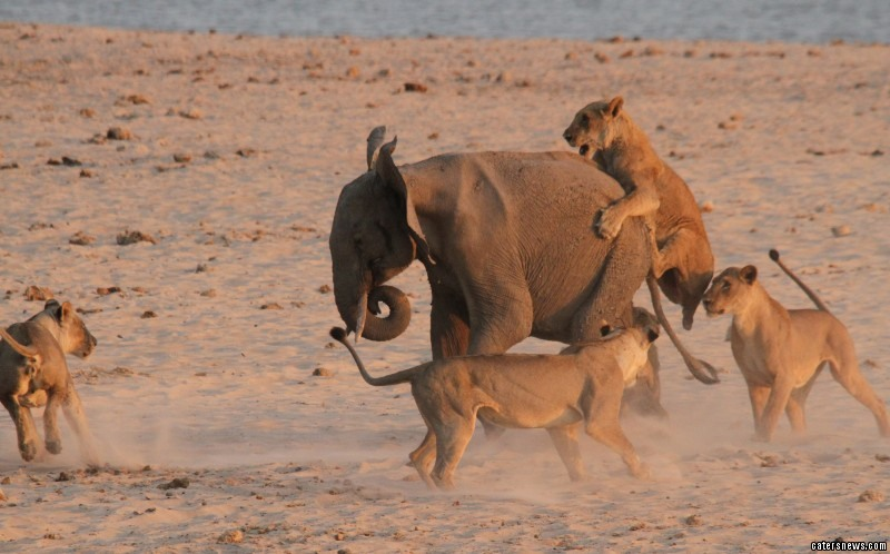 The battle shows the young elephant surrounded by the pack of predators near a watering hole
