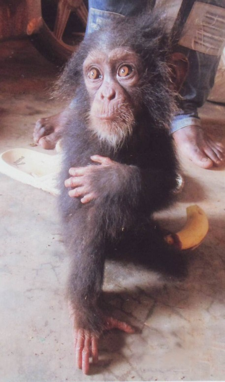 The tiny baby chimpanzee was found cowering on the floor after rescuers discovered it held captive surrounded by the heads of its family