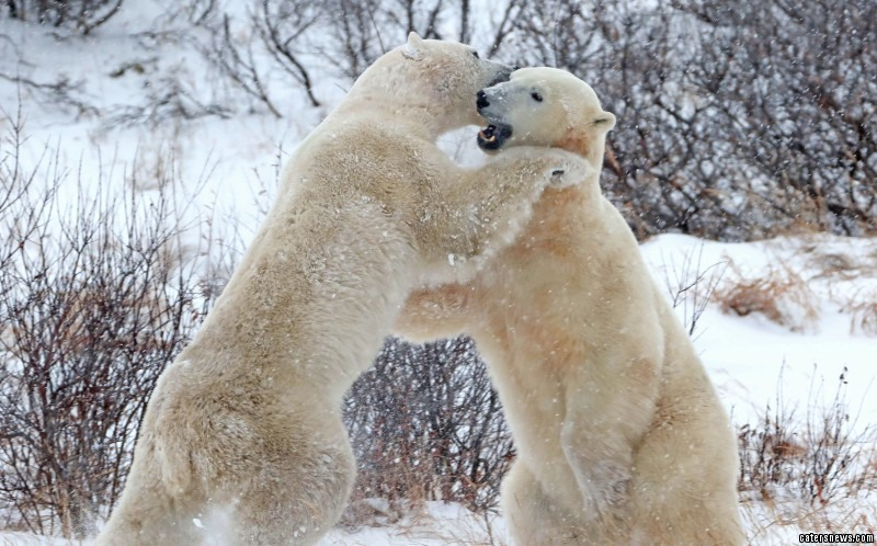 The two bears had been play fighting for hours