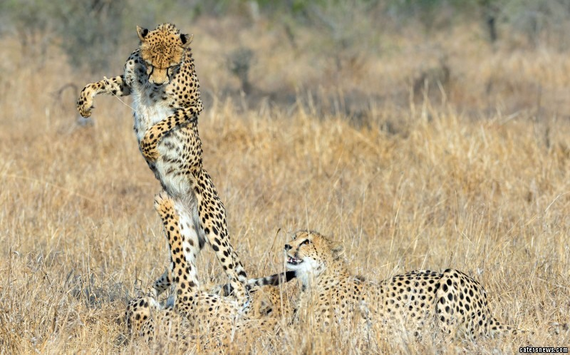 Leapfrogging Cheetah