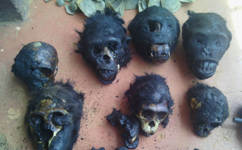 The collection of chimp heads and bones found by LAGA