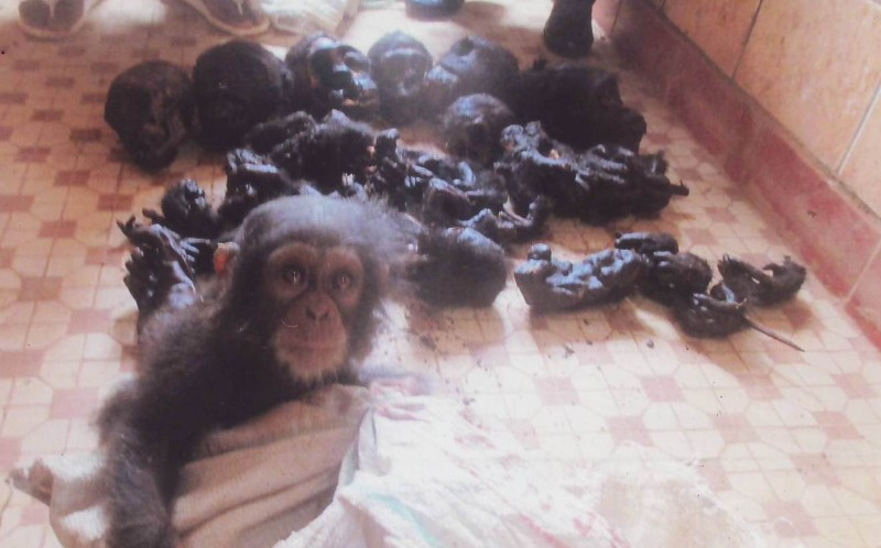 The terrified youngster was  found near a heap of seven chimp heads and 30 legs