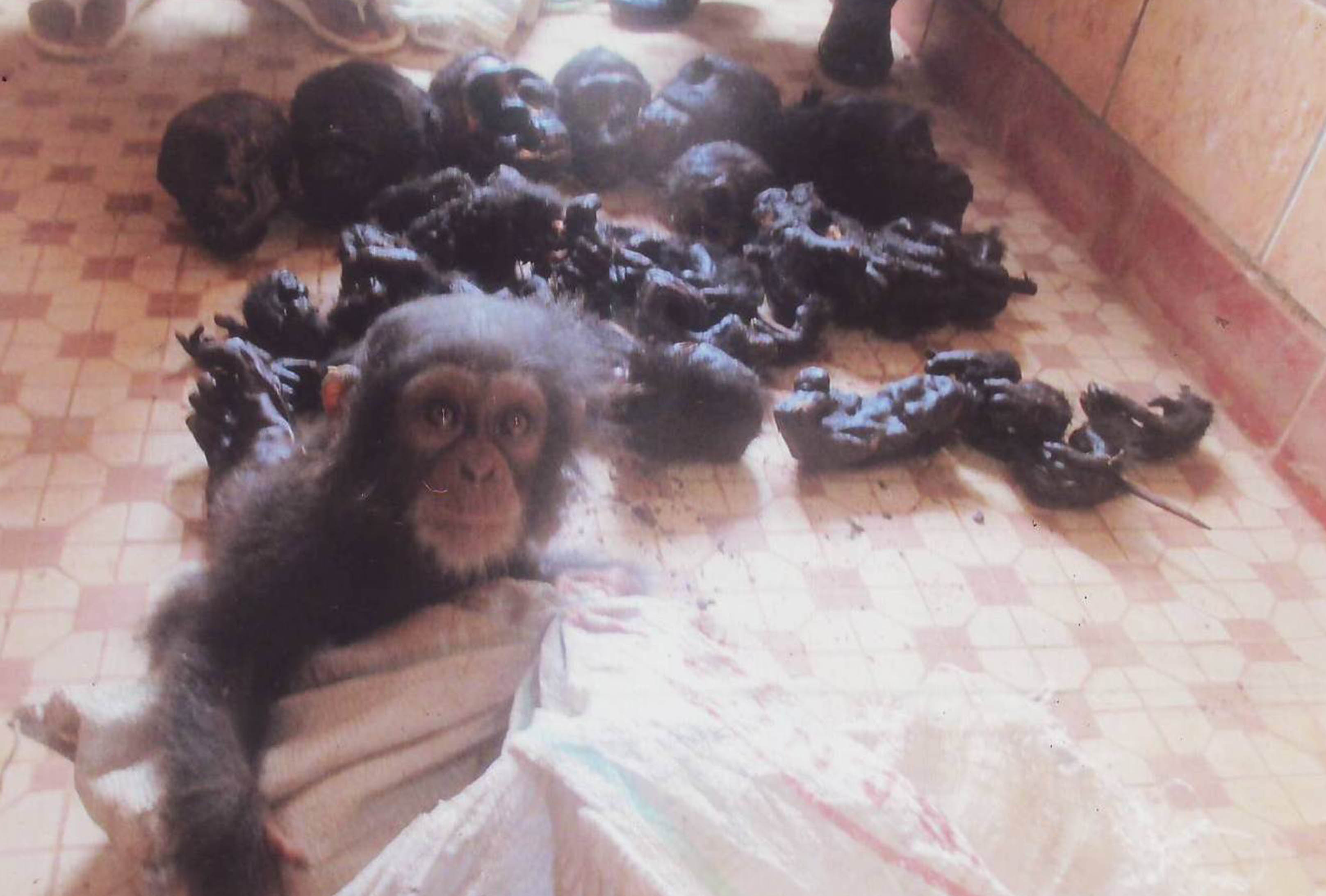 Heart Breaking Moment Baby Chimp Was Rescued Discovered