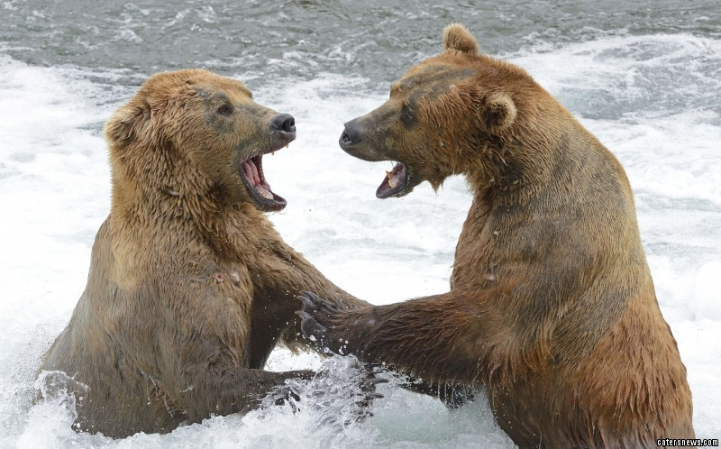 Bears Fight Over Fishing Rights