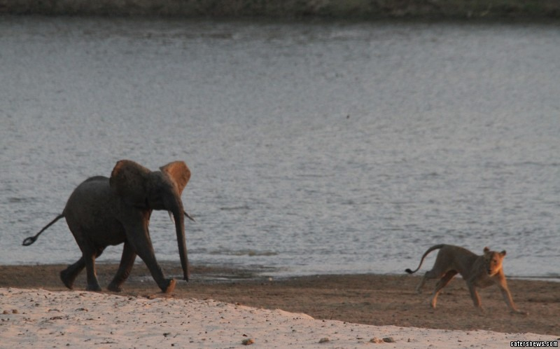 Elephant Fights off Lions