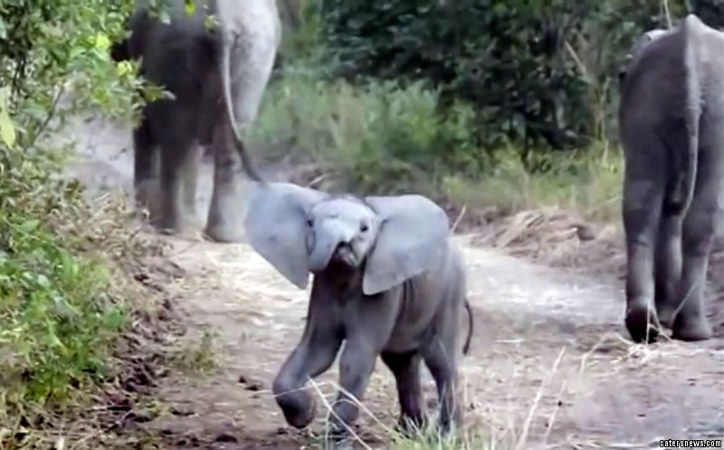 The 12-month-old calf was caught on camera running full-on at the tourists