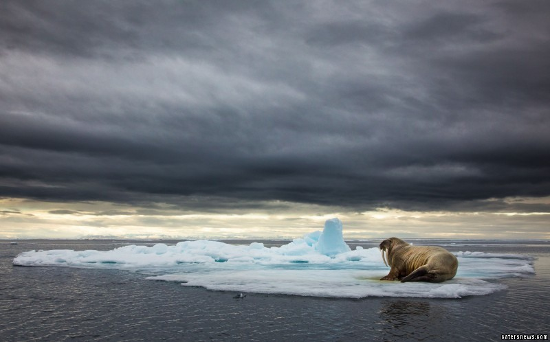 A walrus relaxes on an ice floe in the Barents