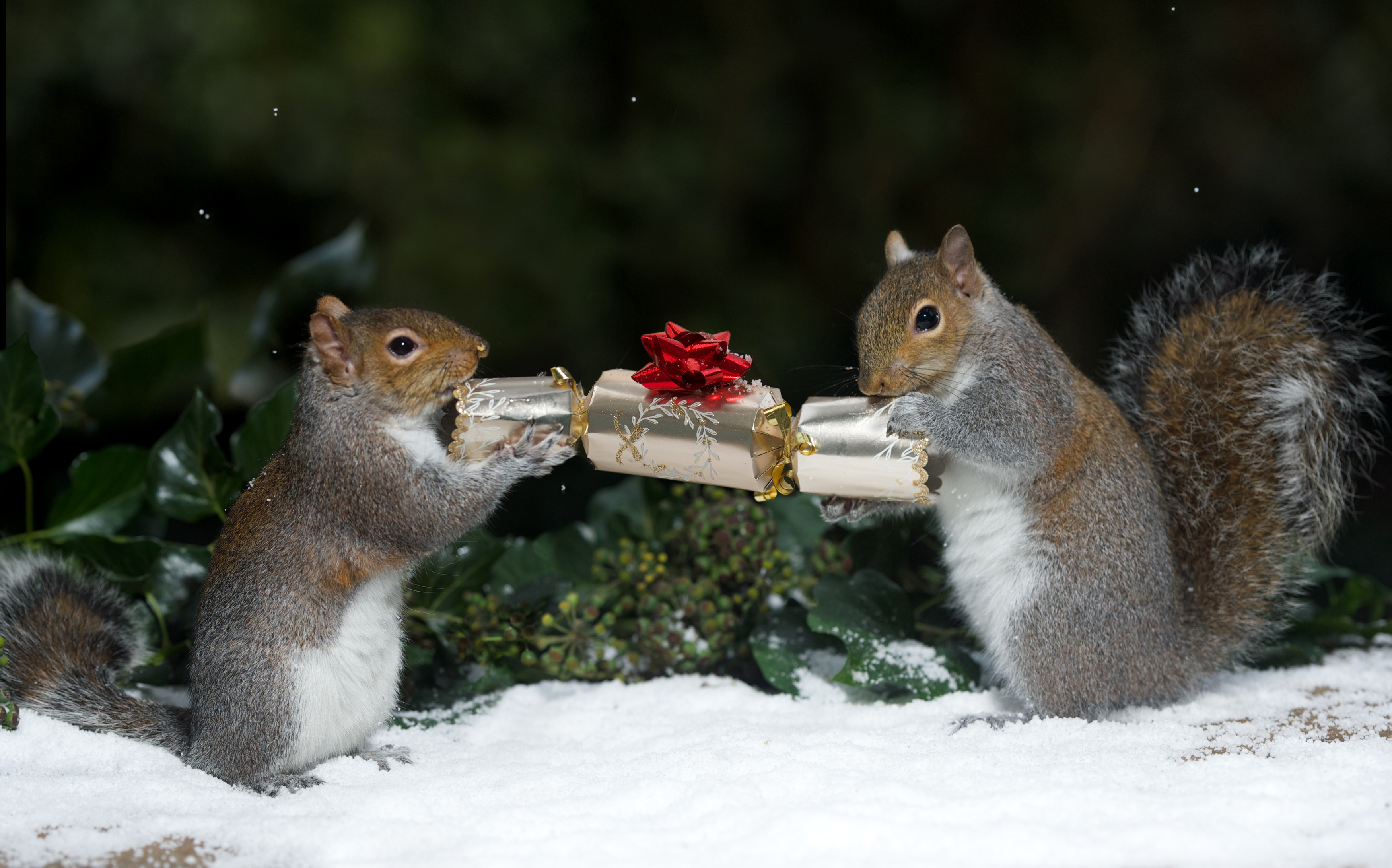 Squirrels Go Nuts For Christmas Pulling Crackers And