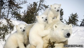 The adorable polar bears emerge from their den for the very first time