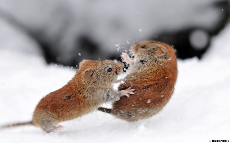 This is the moment two voles were spotted squabbling for shelter