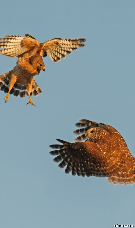 """Photographer Marina Scarr, who captured the images, said: """"The owl attacked the hawk that had been peacefully perched nearby."""""""