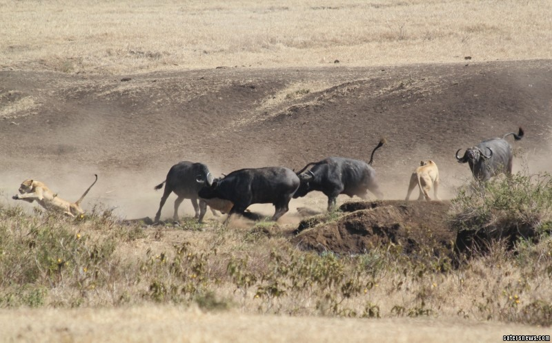 The hungry lions crept up on the buffalo and calf in north-west Tanzania, East Africa
