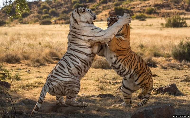 The photographer was only a mere ten metres away from the duo's razor sharp claws