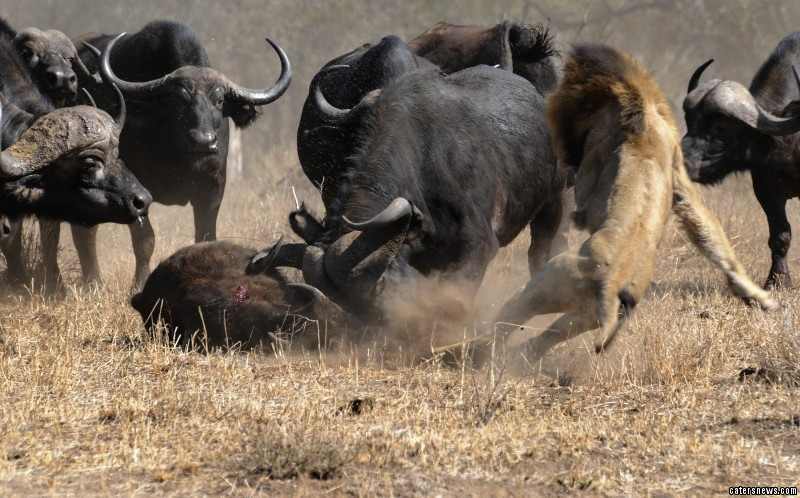 Buffalo Escapes Lion Attack