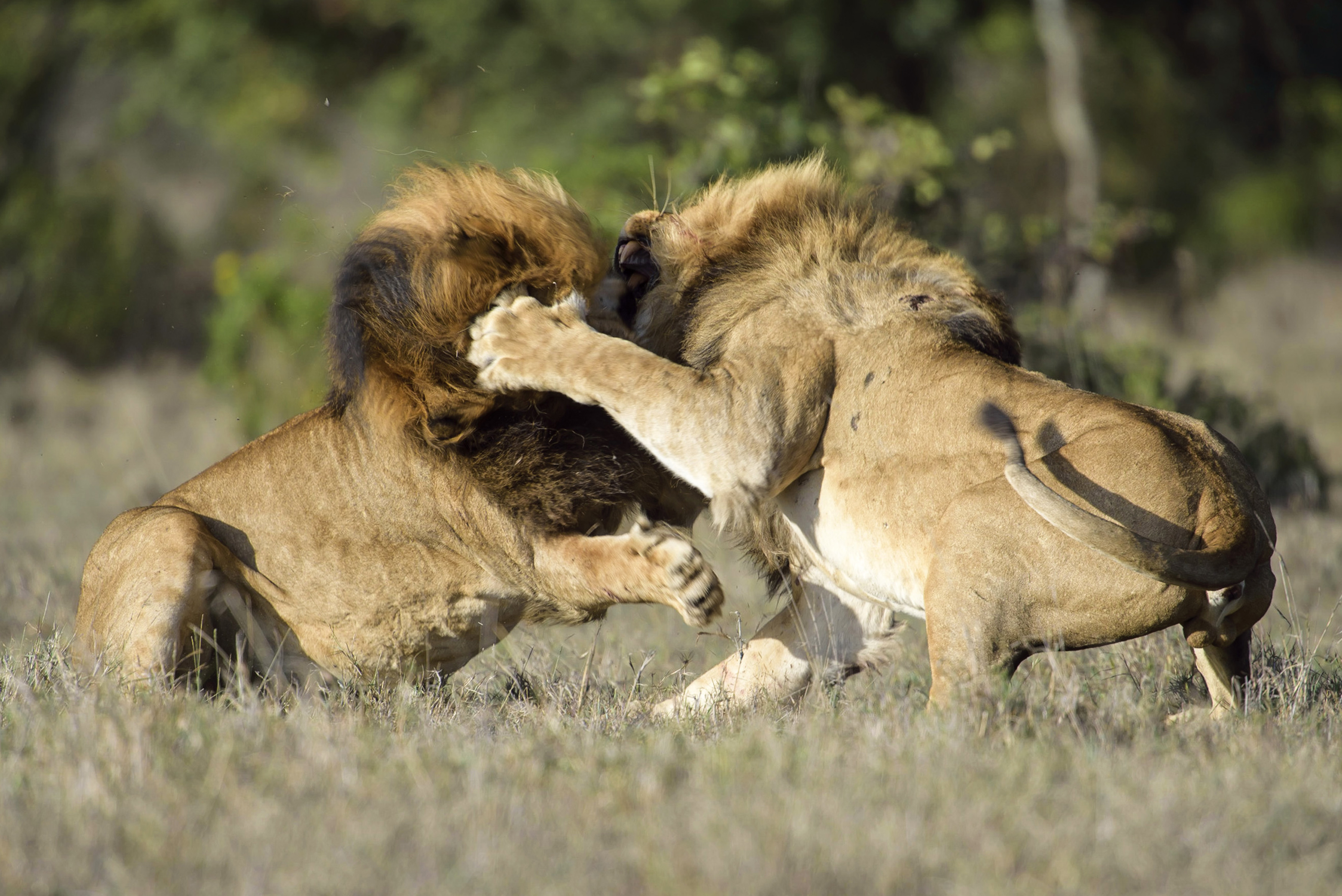 Lion fight with man - photo#16