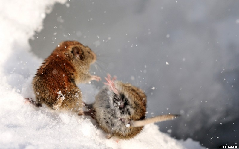 The enraged rodents were seen tumbling in the snow