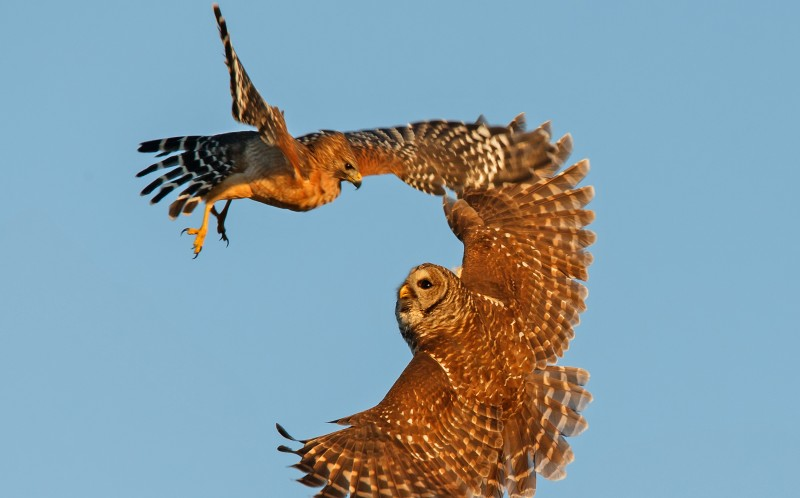 The hawk and owl clash in mid air