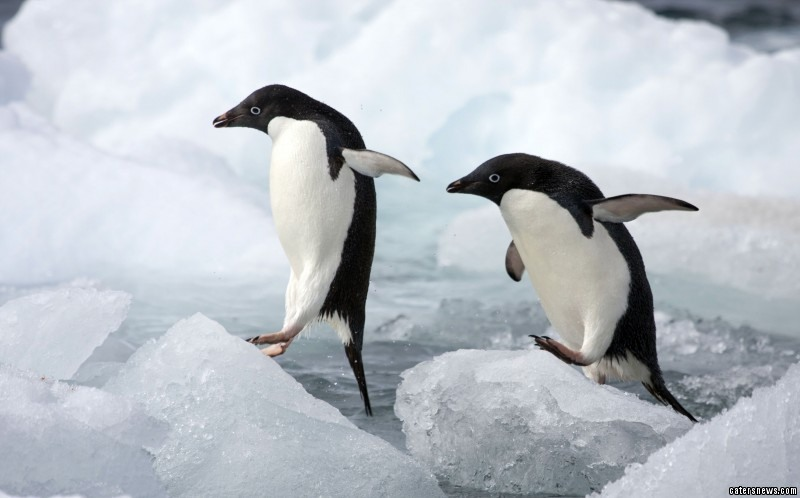 Photographer Adam Gibbs managed to capture the lonely Adelie penguin's hunt for love