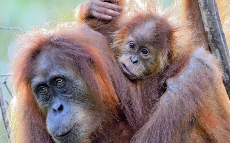 The Sumatran orangutans' habitat was destroyed