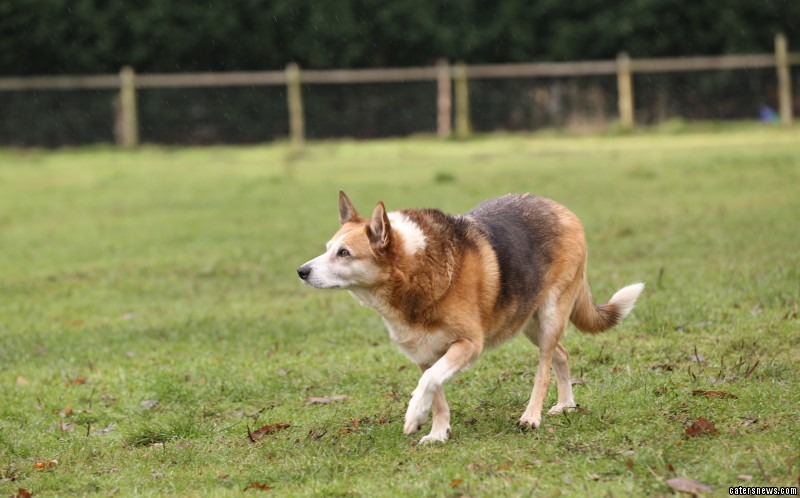 Sophie is the longest-running resident at Hilbrae Kennels in Telford, Shrops