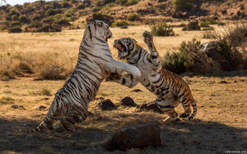 The tigers exchange blows in a heated exchange