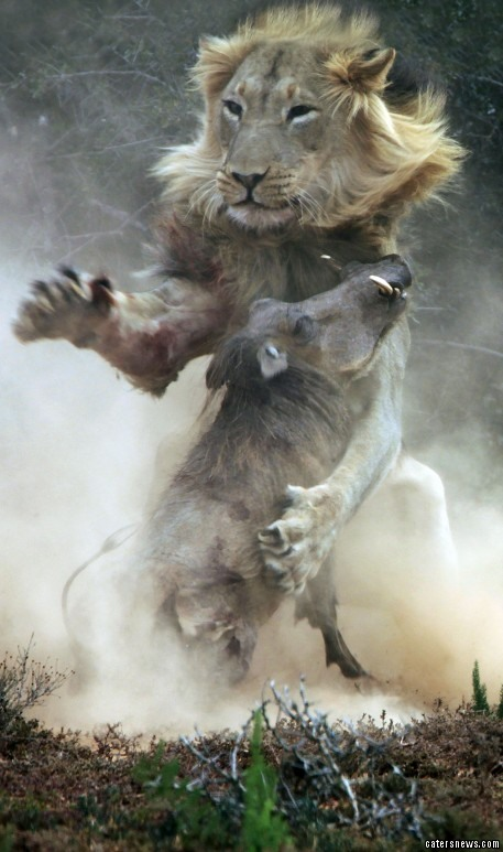 These stunning photos capture the moment in nature when a warthog stepped into the path of a hungry LION- and became its prey. As the warthog steps into the lion's den, the lion leaps with brute force and captures the wild pig.