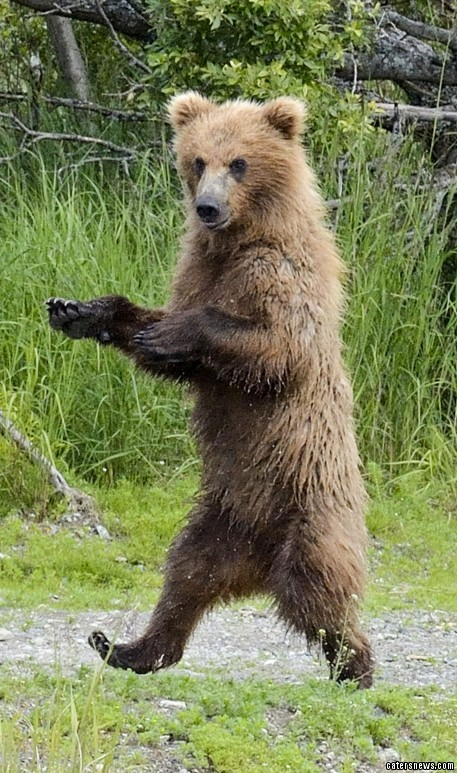 This is the hilarious moment a boogying bear was seen practising it's best Michael Jackson impression - by performing a fur-iller dance routine. Pictured pulling the iconic pose, this bear-illiant dancer makes for a striking resemblance to the King of Pop in the legendary music video.