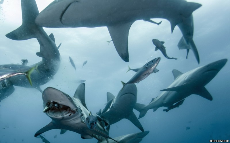 The sharks hurtle around the diver grabbing floating pieces of bait