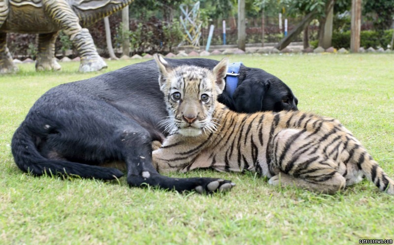 """Rakesh Yadav, a keeper at the zoo who helped integrate the two, said: """"They are like mom and son."""""""