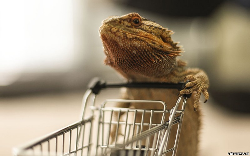Pringle, a four-year-old bearded dragon is pictured carrying out everyday tasks