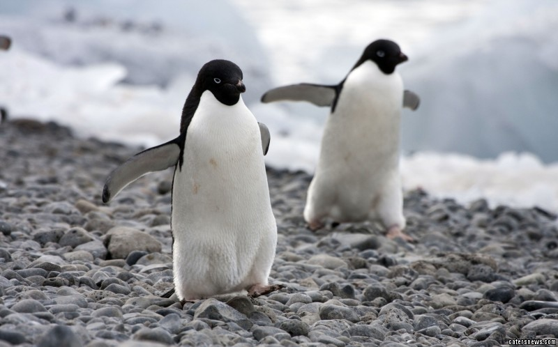 Penguins are one of the few species on earth which mate for life