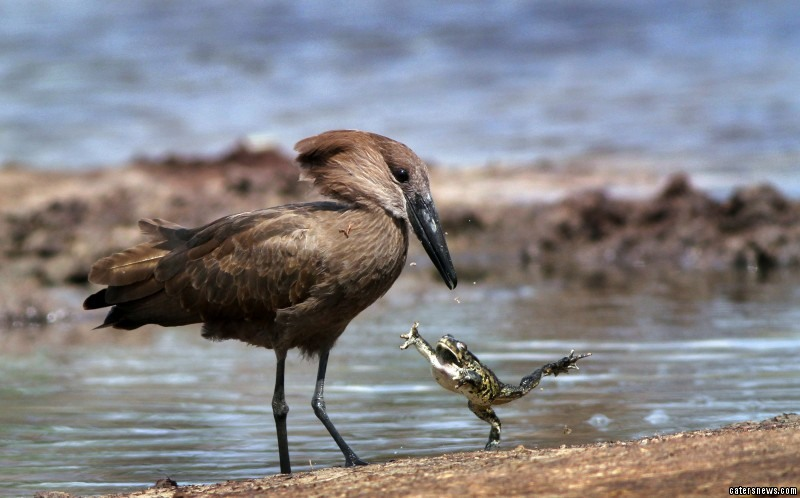 Despite its performance, the tiny toad was actually trying to escape the clutches of the hungry Hammerkop bird
