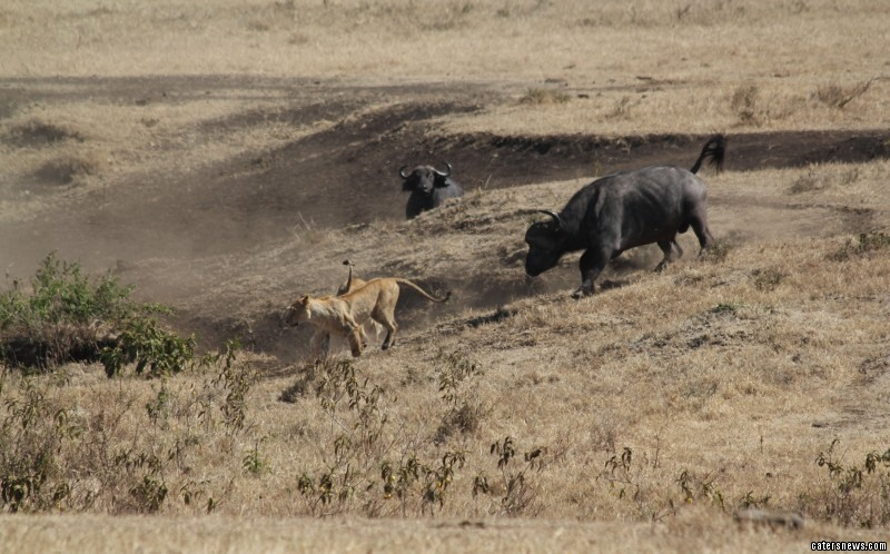 The brave buffalo staved off a savage attack from a pack of lions