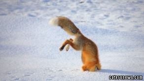 Fox Diving in Snow