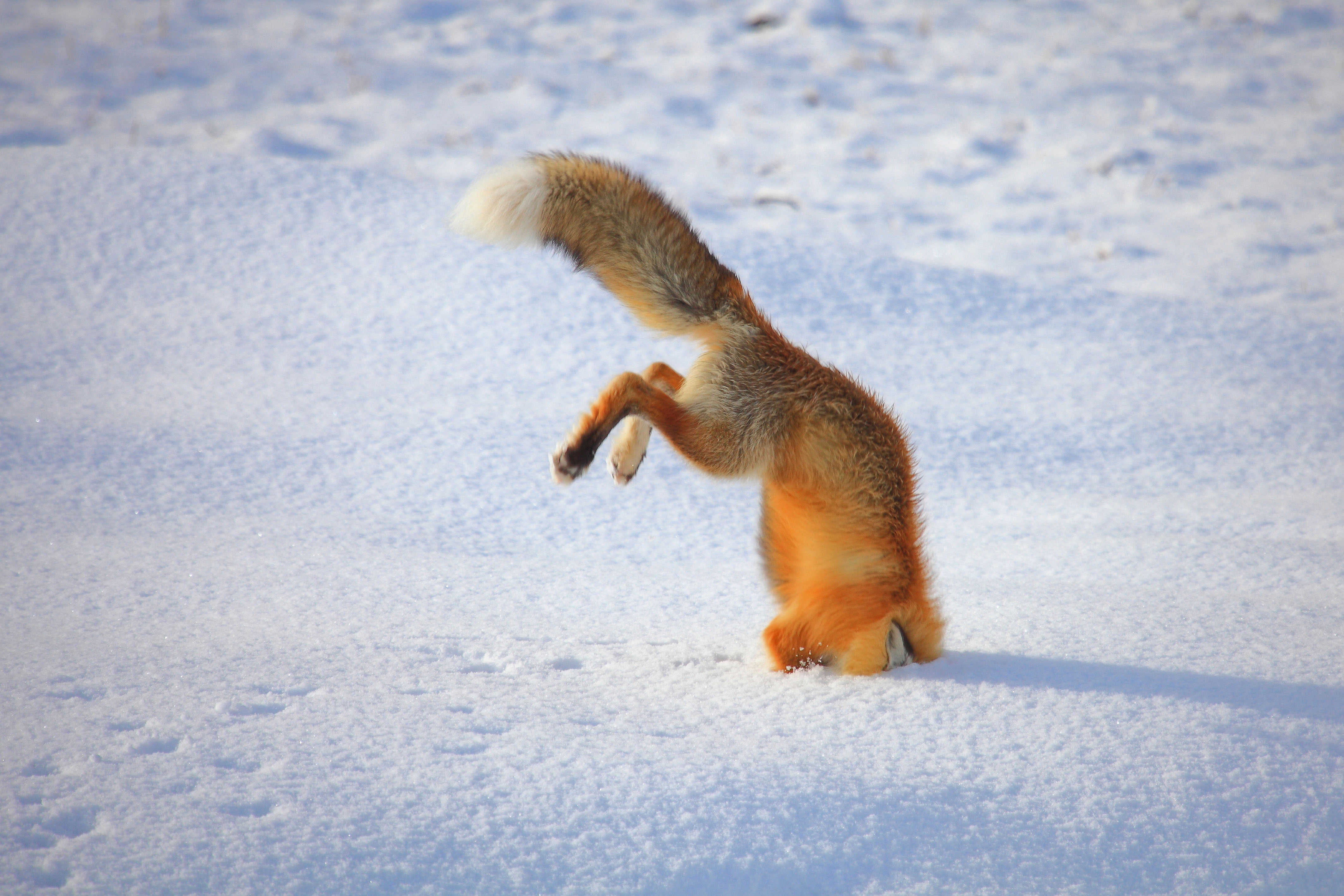 Outfoxed Fox Gets Wedged In Snow After Narrowly Missing