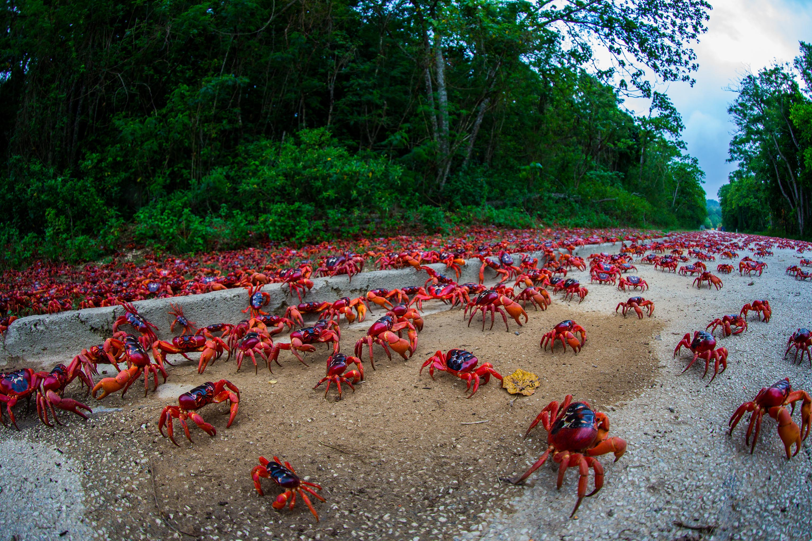 Sea of red as millions of crabs bring Christmas Island to a ...