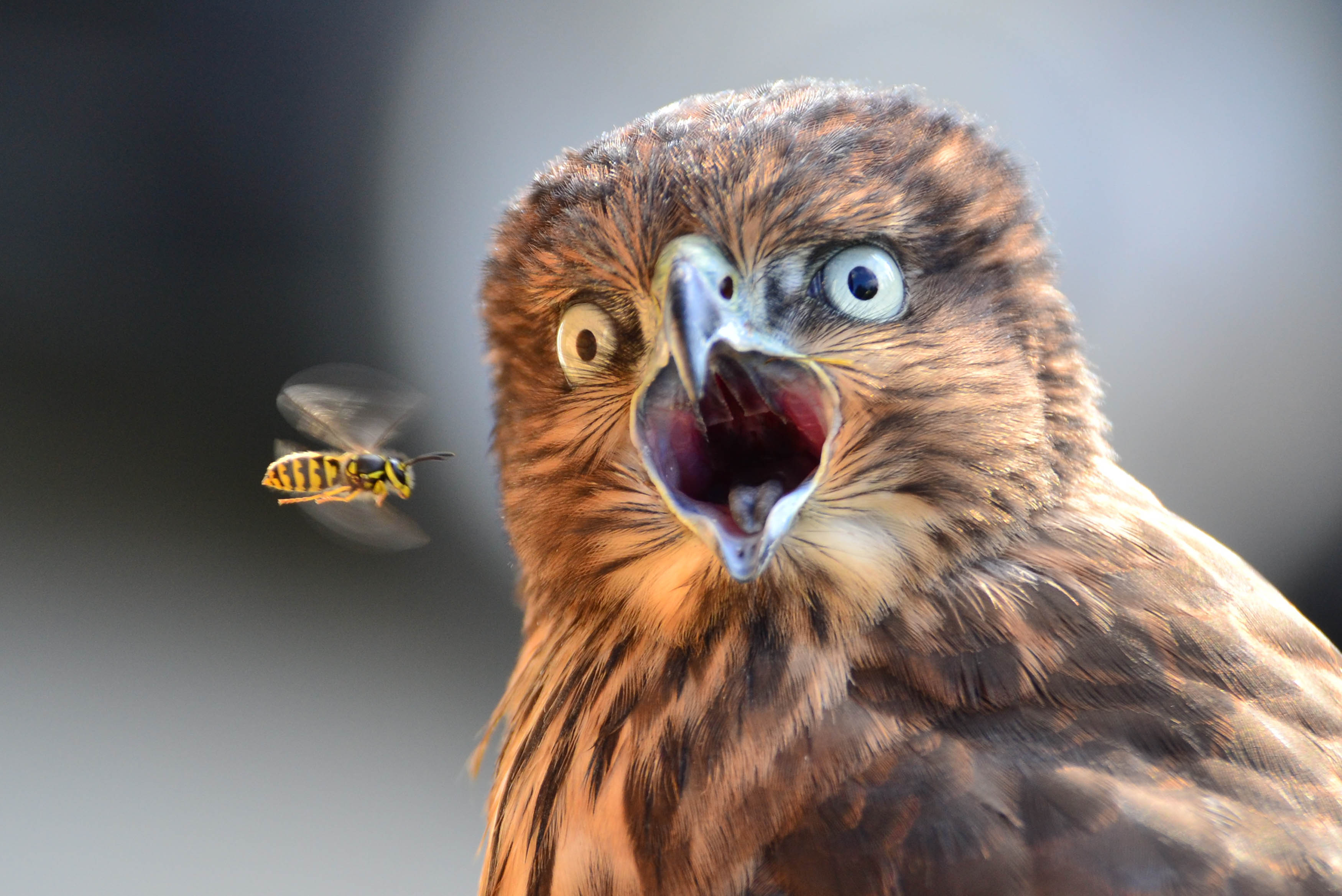 incredible moment hawk is photobombed by wasp   caters