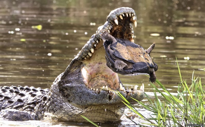 A terrapin was seen looking a little shell shocked after nearly being swallowed whole by a crocodile. Pictured being tossed high into the air by the huge monster, the critter looked sure to become lunch.