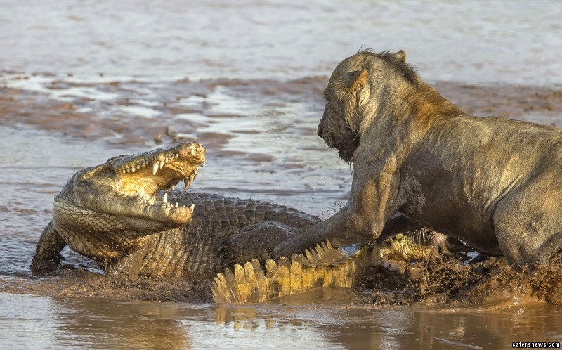 Lion Takes on a Crocodile