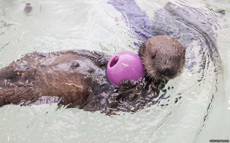 The young otter, named Luna, flapping around in the water